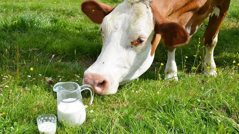 Autoimmunerkankungen und Milch-Caseinomorphin - Kuh auf der Alp